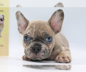French Bulldog Puppy for sale in BEAUX ARTS, WA, USA