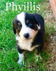 Australian Shepherd Puppy For Sale in EDMOND, OK, USA