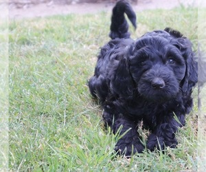 Labradoodle Dog for Adoption in MADERA, California USA