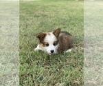 Puppy 1 Aussie-Corgi