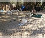 Small #6 Anatolian Shepherd-Maremma Sheepdog Mix