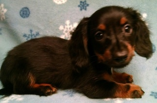 Dachshund Puppy For Sale in CAMPO, CA