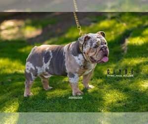 Father of the English Bulldog puppies born on 06/25/2019