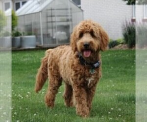 Father of the Goldendoodle-Poodle (Miniature) Mix puppies born on 03/13/2021