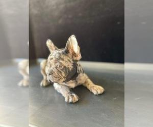 French Bulldog Dog for Adoption in CHULA VISTA, California USA