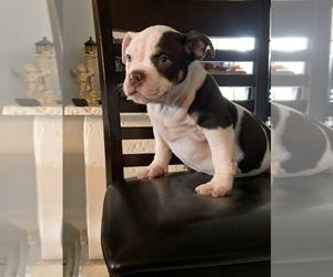 American Bully Puppy for sale in MIAMI, FL, USA