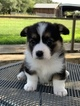 Pembroke Welsh Corgi Puppy For Sale in CASTROVILLE, TX, USA