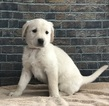 Labrador Retriever Puppy For Sale in NEW ALBANY, PA, USA