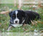Small Photo #1 Australian Shepherd Puppy For Sale in EASTON, MO, USA