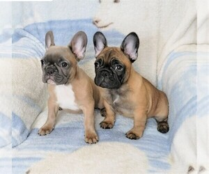 French Bulldog Puppy for Sale in BITTER LAKE, Washington USA