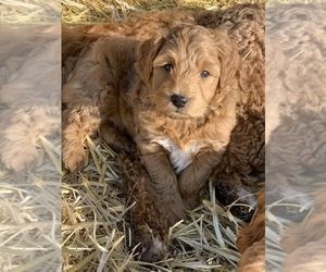 Goldendoodle (Miniature) Puppy for sale in ALTON, IL, USA