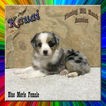 Kauai Toy Small Mini Blue Merle Female Aussie