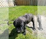 Small #23 Mastiff