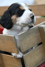 Beagle Puppy For Sale in LINDEN, PA