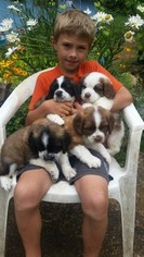 Saint Bernard Puppy for sale in BATTLE GROUND, WA, USA