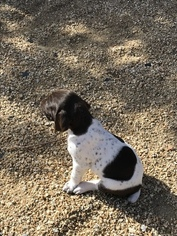 German Shorthaired Pointer Puppy For Sale in HESPERIA, CA, USA