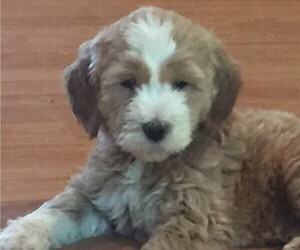 Goldendoodle Puppy for sale in CLARENCE, NY, USA