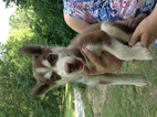 Siberian Husky Puppy For Sale in FAIRFIELD, IL,