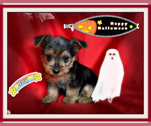 Medium Photo #3 Maltese-Morkie Mix Puppy For Sale in SAN FRANCISCO, CA, USA