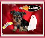 Small Photo #3 Maltese-Morkie Mix Puppy For Sale in SAN FRANCISCO, CA, USA