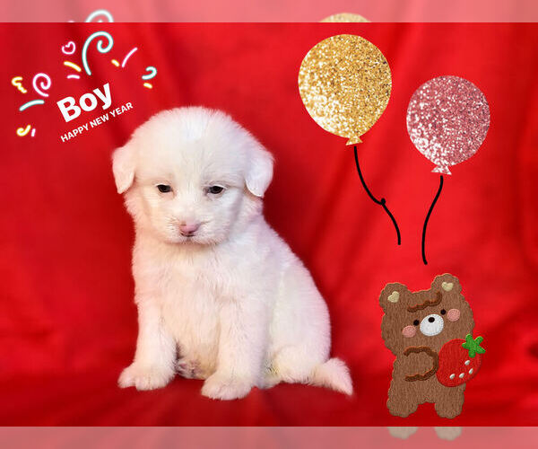 Medium Photo #1 Maltese-Maltipoo Mix Puppy For Sale in SAN FRANCISCO, CA, USA