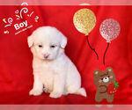 Small Photo #1 Maltese-Maltipoo Mix Puppy For Sale in SAN FRANCISCO, CA, USA