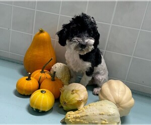 Maltese-Poodle (Toy) Mix Puppy for sale in CLARE, IL, USA