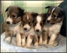 Shetland Sheepdog Puppy For Sale in STATHAM, GA, USA