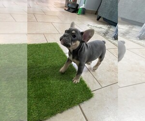 French Bulldog Puppy for Sale in LUCAS, Texas USA