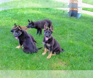German Shepherd Dog Puppy for Sale in CHERRY HILL, New Jersey USA