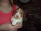 Beagle Puppy For Sale in FRESNO, CA,