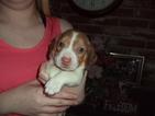 Beagle Puppy For Sale in FRESNO, CA, USA