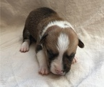 Puppy 7 Pembroke Welsh Corgi