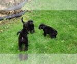 Small #59 Labrador Retriever