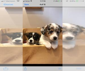Pembroke Welsh Corgi Puppy for sale in HASLETT, MI, USA