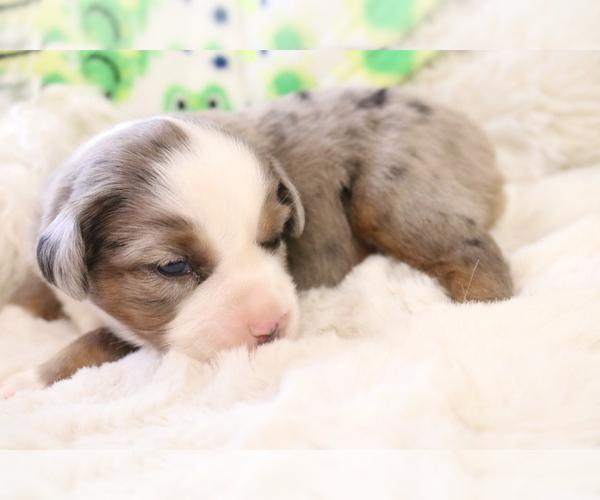 Medium Photo #7 Australian Shepherd Puppy For Sale in STAFFORD, VA, USA