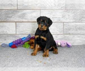 Rottweiler Puppy for Sale in OGDEN, Utah USA