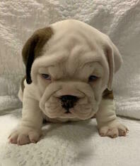 Medium English Bulldog