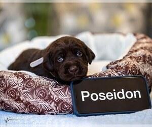 Labrador Retriever Puppy for sale in LAND O LAKES, FL, USA