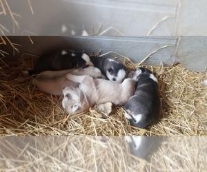Siberian Husky Puppy for sale in OSCEOLA, MO, USA