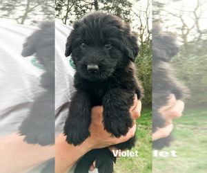 Shepadoodle Puppy for Sale in AUBURNTOWN, Tennessee USA