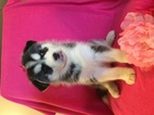 Siberian Husky Puppy For Sale in CLAY CITY, KY,