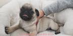 Pug Puppy For Sale in LA MIRADA, California,