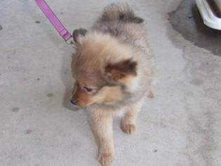 Pomeranian Puppy For Sale in MARSHFIELD, MO, USA