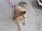 Pomeranian Puppy For Sale in MARSHFIELD, MO,