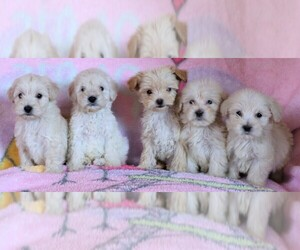 Maltipoo Puppy for sale in LAKESIDE, CA, USA
