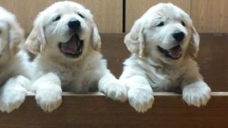 Golden Retriever Puppy for sale in GRAND RAPIDS, MI, USA