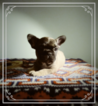 French Bulldog Puppy For Sale in MINNEAPOLIS, MN