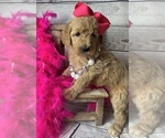 Image preview for Ad Listing. Nickname: Golden doodle