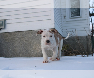 American Bully Puppy for Sale in BANGOR, Maine USA